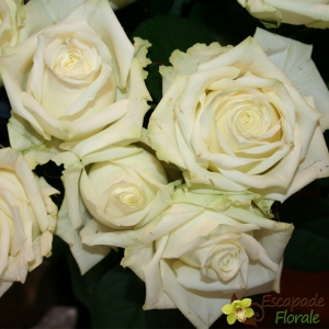 Rose blanche - Gros bouton