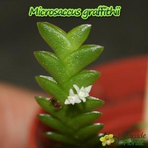Microsaccus griffithii - Age de floraison