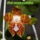 Phalaenopsis Venosa x zebrina - Age de floraison