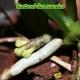 Gastrochilus sororius