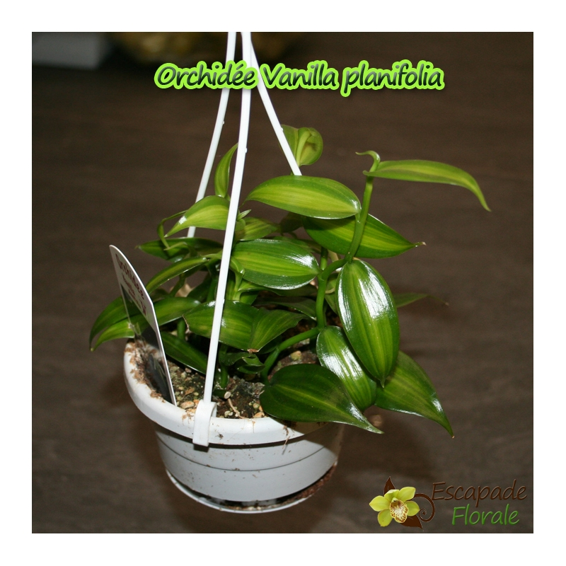 Orchidee vanille planifolia escapade florale for Orchidee exterieur