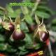 Epidendrum Porpax - Age de floraison