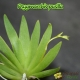 Psygmorchis pusilla - 2 hampes florales