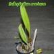 Bulbophyllum medusae - Age de floraison