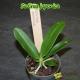 Sedirea japonica - Age de floraison