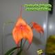 Masdevallia Bellavallia  Amazone-Veitchiana  - Age de Floraison