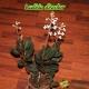 Ludisia Discolor - 1 à 3 hampes florales