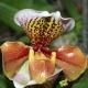 Orchidée Paphiopedilum Amerika Hybride