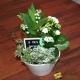 Composition de plantes et Muguet