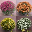Chrysanthème Pomponette - 50cm environ