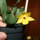 Promenaea - Age de Floraison