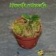 Haraella retrocalla - Jeune plant