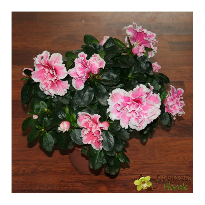 Rose Et Blanche : Azalée rose et blanche escapade florale