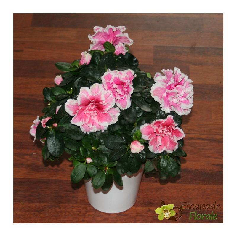 Azalée rose et blanche - Escapade Florale