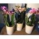 Orchidées trio de  Phalaenopsis