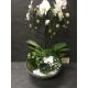 Compo orchidée 50€