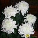 Chrysanthème dirigée 5 têtes - Différents coloris