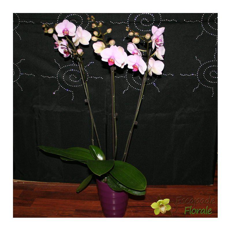 orchidee 3 tiges