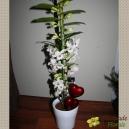 Un Amour de Dendrobium