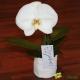 Orchidée Phalaenopsis Singolo