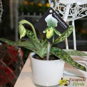Orchidée Paphiopedilum - En Floraison