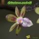Cleisostoma crochetii - Age de Floraison