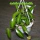 ORCHIDEE VANILLE PLANIFOLIA