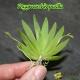 Psygmorchis pusilla - Age de Floraison