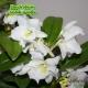 Dendrobium Nobile 'Apollon'