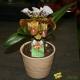 Orchidée Paphiopedilum Amerika Hybride avec cache pot