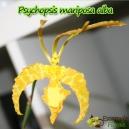 Psychopsis Mariposa 'GV' - En fleurs