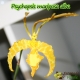 Psychopsis Mariposa 'GV'