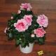 Azalée rose et blanche
