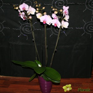 Orchidée Phalaenopsis 3 tiges